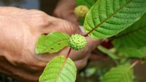 different kratom strains that you can buy