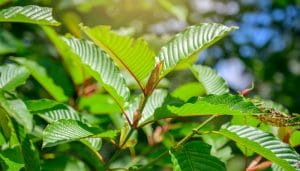 where to get green indo kratom