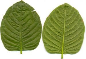 what are kratom strains and alkaloids