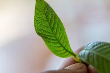 how is kratom defined