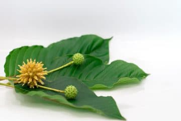 kratom source buy kratom