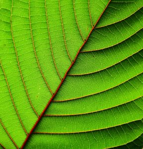 buy kratom leaves