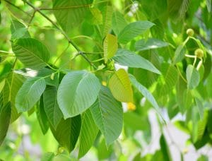 kratom leaves varieties for sale